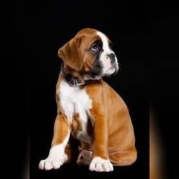 Boxer filhotes c pedigree e garantias, levamos até vc, pagamento na entrega!