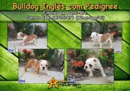 Bulldog inglês fêmeas com pedigree e no padrão!
