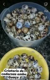 Ovos de codornas japonesa
