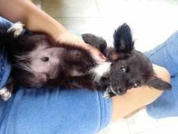 Chihuahua pelo longo macho