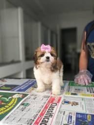 Shih Tzu com garantias e suporte veterinário gratuito, temos 11 clinicas!
