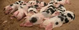 Estou doando alguns porcos