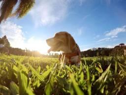 Beagle Macho procura namorada Curitiba