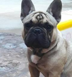 Bulldog francês macho disponível para cobertura /cruza . possui pedigree cbkc