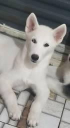 Husky Branco Macho Olho com Heterocromia