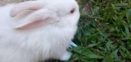Vende se coelhos