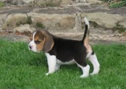 Beagle Filhote 13 Polegadas com Pedigree e Garantia de Saúde