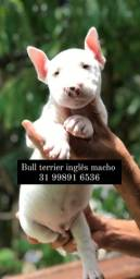 Bull Terrie