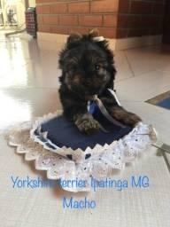 Título do anúncio: Vende filhote de yorkshire terrier macho