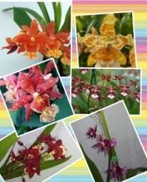 Orquídeas diversas / fazemos entregas