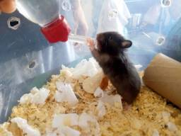 Título do anúncio: Hamster Sírio Angorá (PELUDOS)