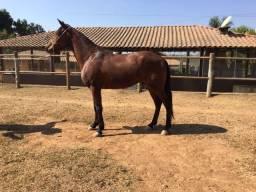 Título do anúncio: Cavalo mangalarga marcha picada castrado urgente