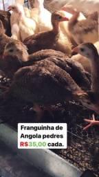 Galinha da Angola comum