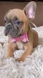 Bulldog francês fêmea Blue Fawn
