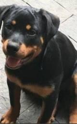 Título do anúncio: Cão da raça Rottwailler