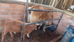 Título do anúncio: Lote de vacas, bois e bezerros