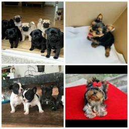 Promoção pug , york e bulldog francês até 12x