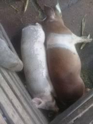 Vendo dois porcos capados por 800