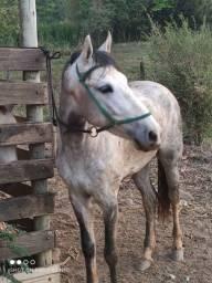 Título do anúncio: Cavalo macha picada puro de cela