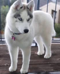 Vendo lindo filhote de husky siberiano! Macho