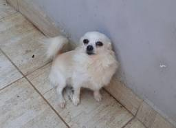 Chihuahua Macho - Padreador