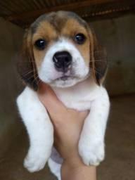 Beagle ingles // RJ// Cabo Frio /@canilcanaa