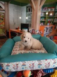 Lindoooo baby poodle em 10x SEM JUROS