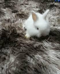 Mini coelhos filhotes