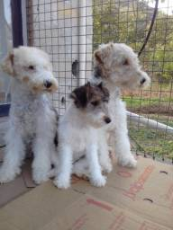 Fox Terrier Tricolor Pelo Duro
