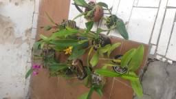 Lote Orquideas