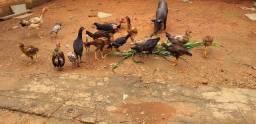 Galo , frangos ,frangas e  galinhas