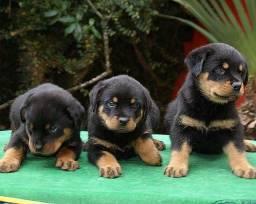Rottweiler excelentes filhotes
