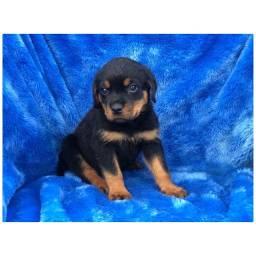 Rottweiler com pedigree e micro chip em até 18x