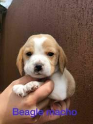 Filhote de beagle macho vacinado