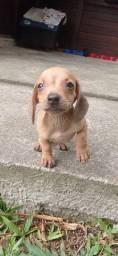 Fêmea dachshund caramelo mine com Pedigree