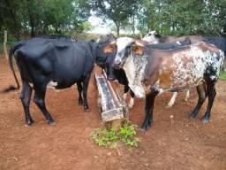 Vendo 7 Vaca e 1 Boi - Mutunópolis GO