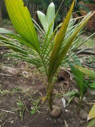 Muda de coqueiro grande