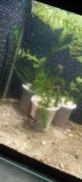 Aquarismo plantas aquáticas mudas!!!!