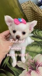 Chihuahua - Filhotes de Pêlo longo liberados. Fast and Furious