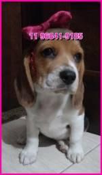 Lindos exemplares a pronta entrega, Beagle de 13 polegadas, compre com segurança