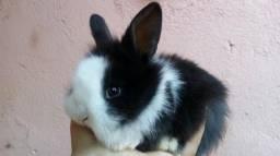 Vendo mini coelho angora