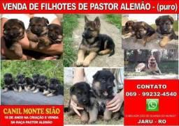 Pastor Alemão - 2019