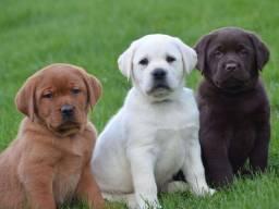Labrador - mais de 20 racas disponiveis em nossas lojas!!!