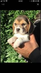 Beagle - Brincalhão, assistência veterinária 24Hs !