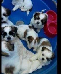 Excelentes filhotes de mini shitzu mini com garantia e kit filhote