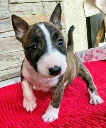 Bull Terrier macinhos e fêmeas entregamos na sua casa!