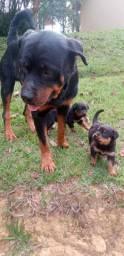 Canil Euro filhotes de Rottweiler/ pode procurar não tem melhor