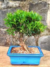 Bonsai de diversas espécies