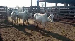 200 Vacas prenha