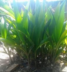 Mudas de coqueiro anão com tamanho entre 1 e 1,5 metros